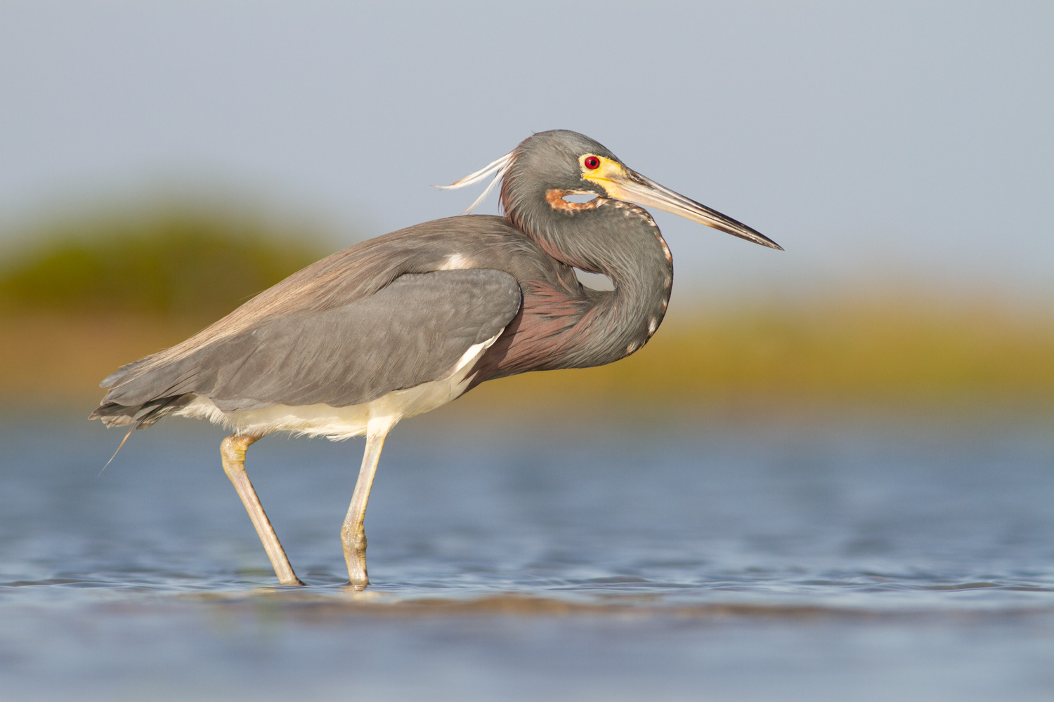 aperture priority mode and shutter priority mode tricolored heron
