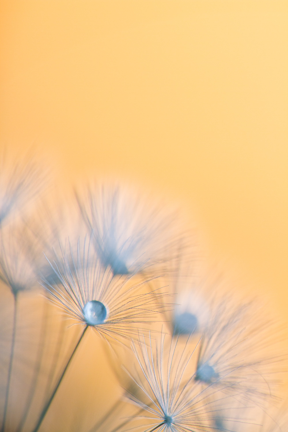 aperture priority mode and shutter priority mode dandelion seed head