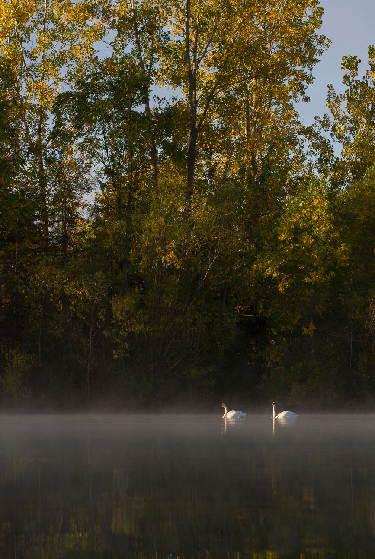 aprendendo sobre os cisnes triangulares de exibição em um lago