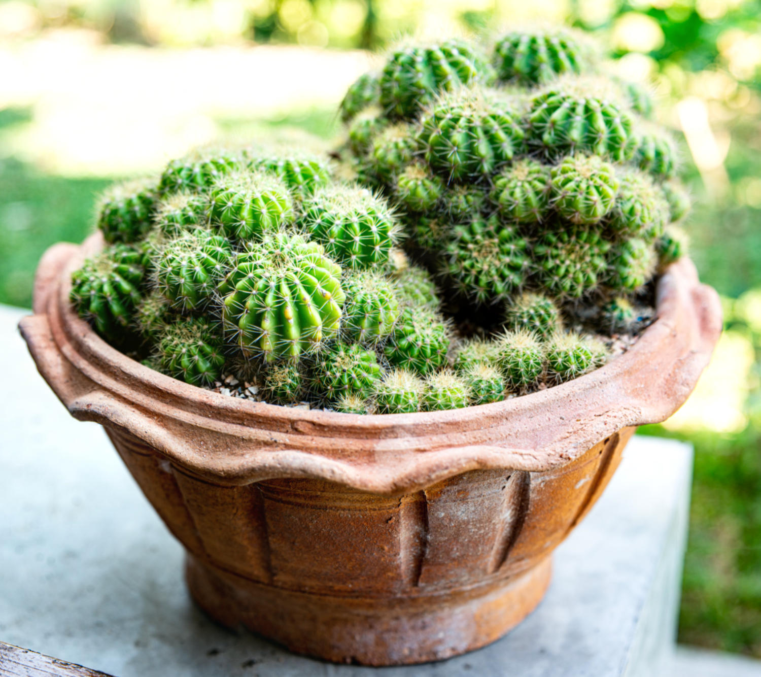 cactus plants in a pot