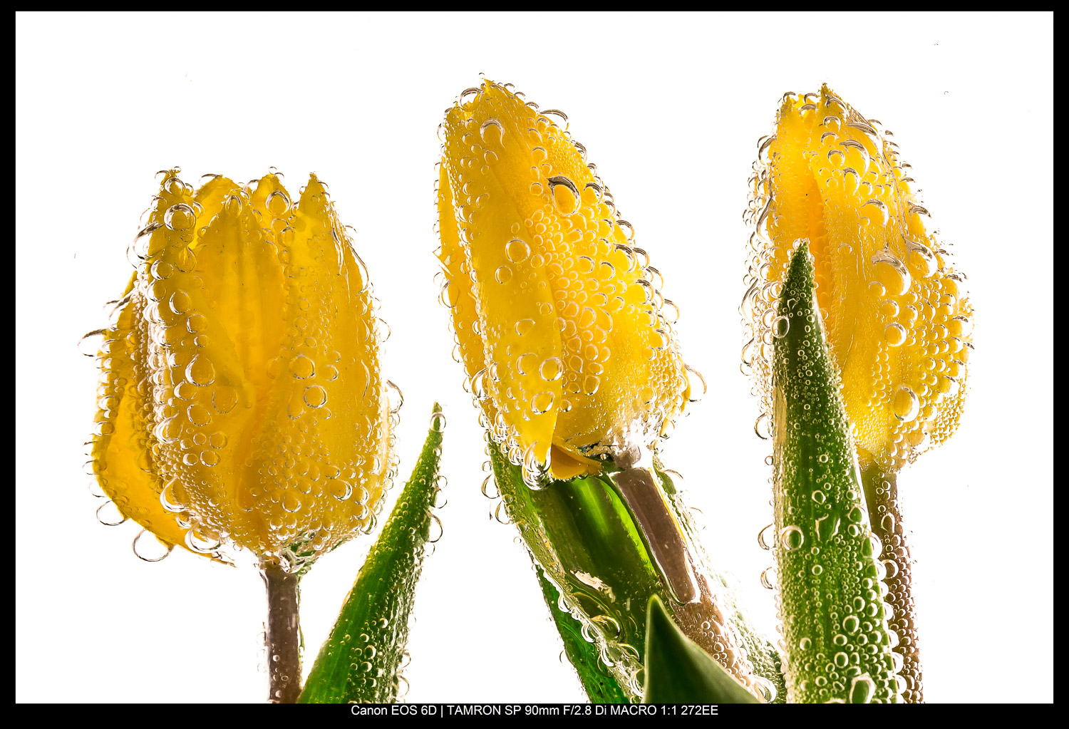 The rule of odds in photography - three tulips