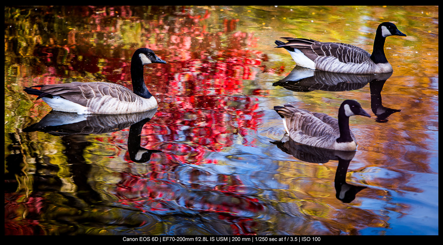 the rule of odds in photography - three Canada geese