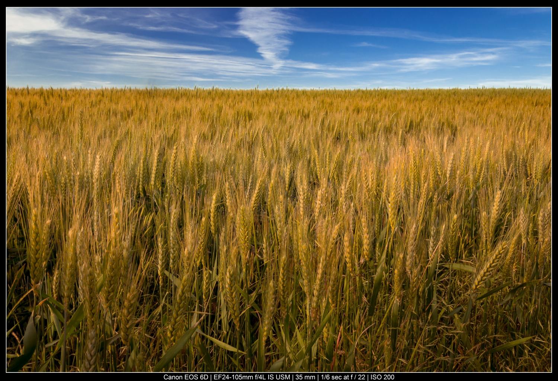 fotografia de paisagem campos de trigo coloridos