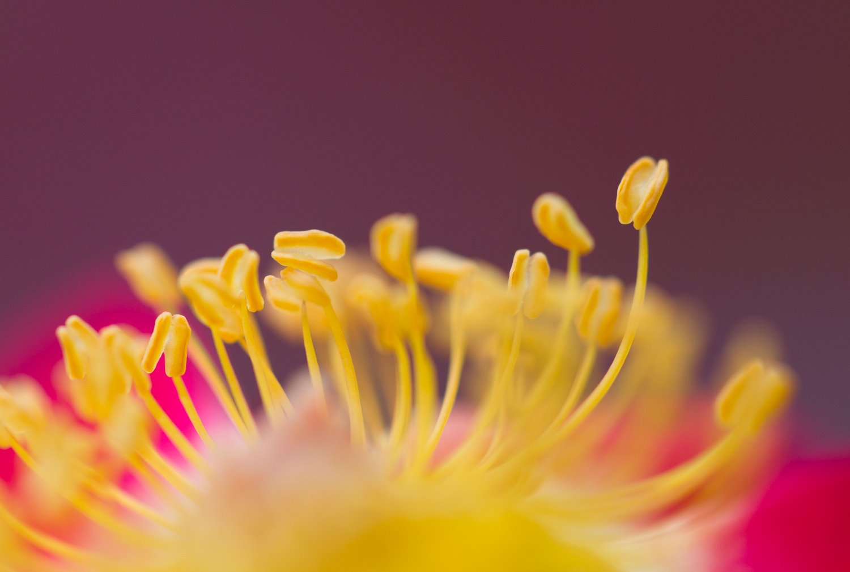 macro photography rose close-up