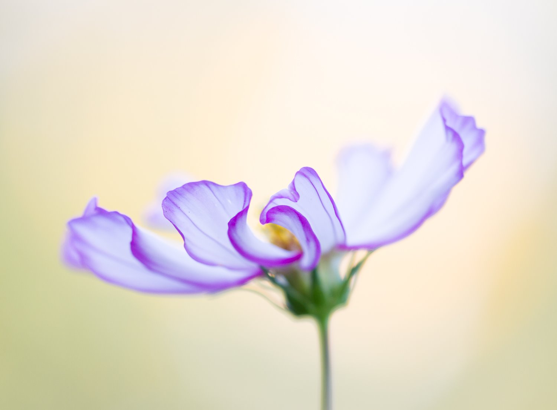 dahlia close up macro photography