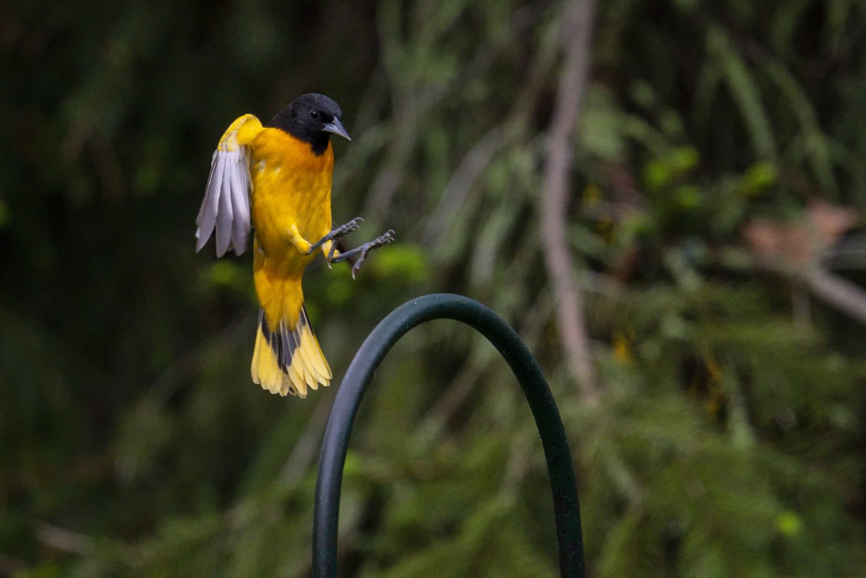 oriole landing on perch