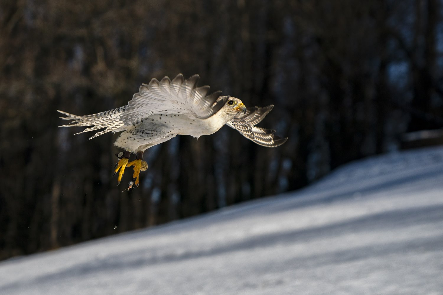 falcon flying in the forest