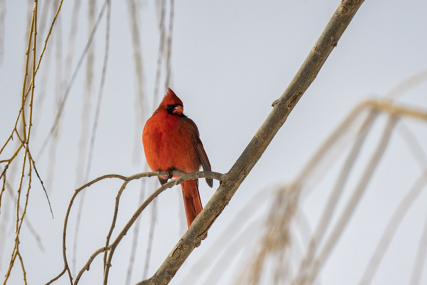 northern cardinal perching on a branch