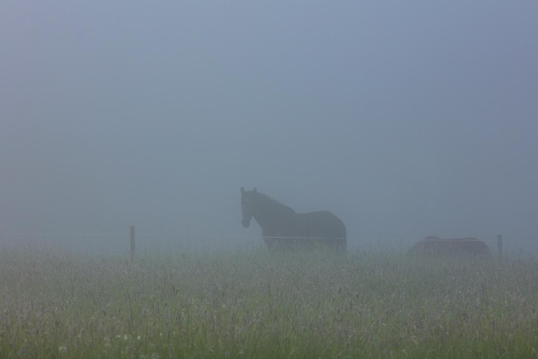 horses in a misty field