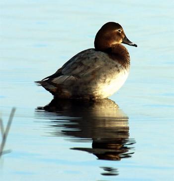 Pochard-Female-