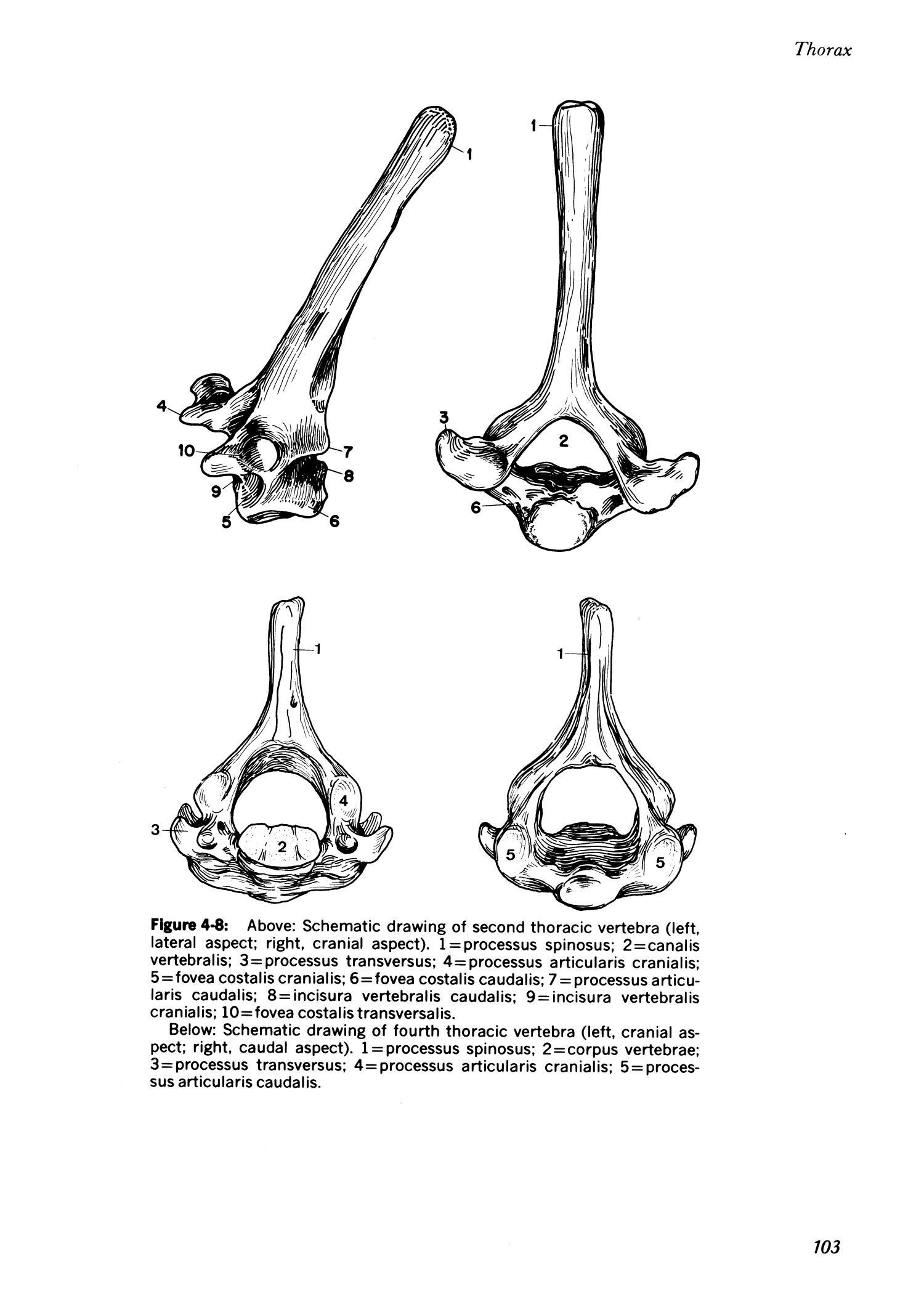 Clinical anatomy of the European hamster, Cricetus