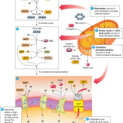 Diagram Of Cellular Energy Msd 7al 2 Wiring Biology Now