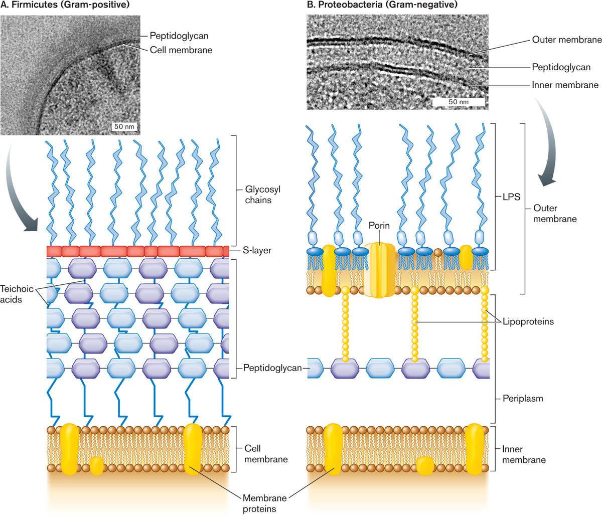 gram positive cell wall diagram human ear and functions components of bacterial envelope bing images