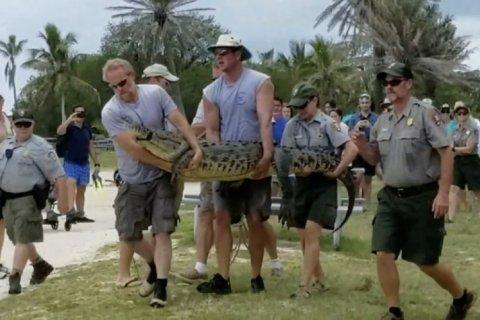 Trasladan al cocodrilo más solitario del mundo a Florida