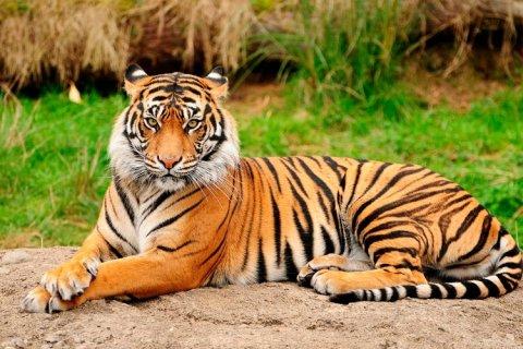 29 de julio: Día Internacional del Tigre