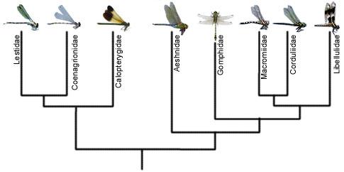 Odonata Cladogram