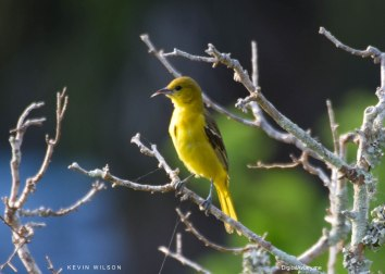 Folly Oriole 5