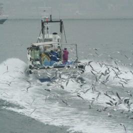 関西の春の訪れ:イカナゴ漁(解禁)の様子を写真撮影01
