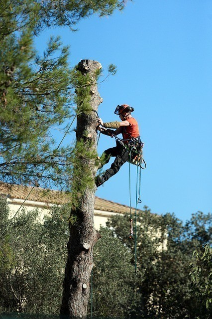 a tree service contractor suspended into the air cutting a tree