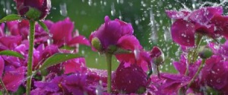 Beautiful_Blossoms_in_Rain