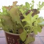 【まとめ】ファミマの育てるサラダを育ててみたよ。種まきから収穫まで。