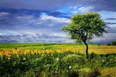 blue sky , green fields , sunflowers , Indai , photography