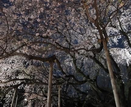 FinePix HS50EXRで撮影する上野の桜と鳥と六義園の夜桜