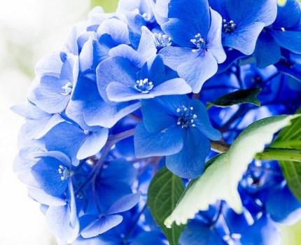王子 飛鳥山公園の紫陽花