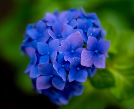 紫陽花フォト散歩
