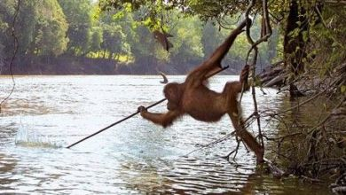 Photo of Iconic Photo Shows Orangutan Catching Fish With A Makeshift Spear