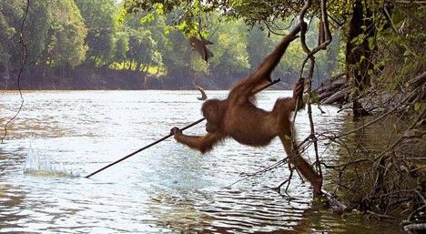 Orangutan Catching Fish