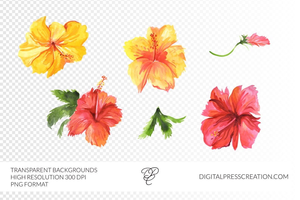 Transparent watercolor hibiscus flowers hawaiian clipart, floral clipart, bahamas art, digital floral art, commercial use