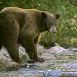 Visitors in Lake Tahoe Are Taking Too Many Bear Selfies