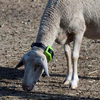 Gps Animals Tracker Tracking And Monitoring Livestock