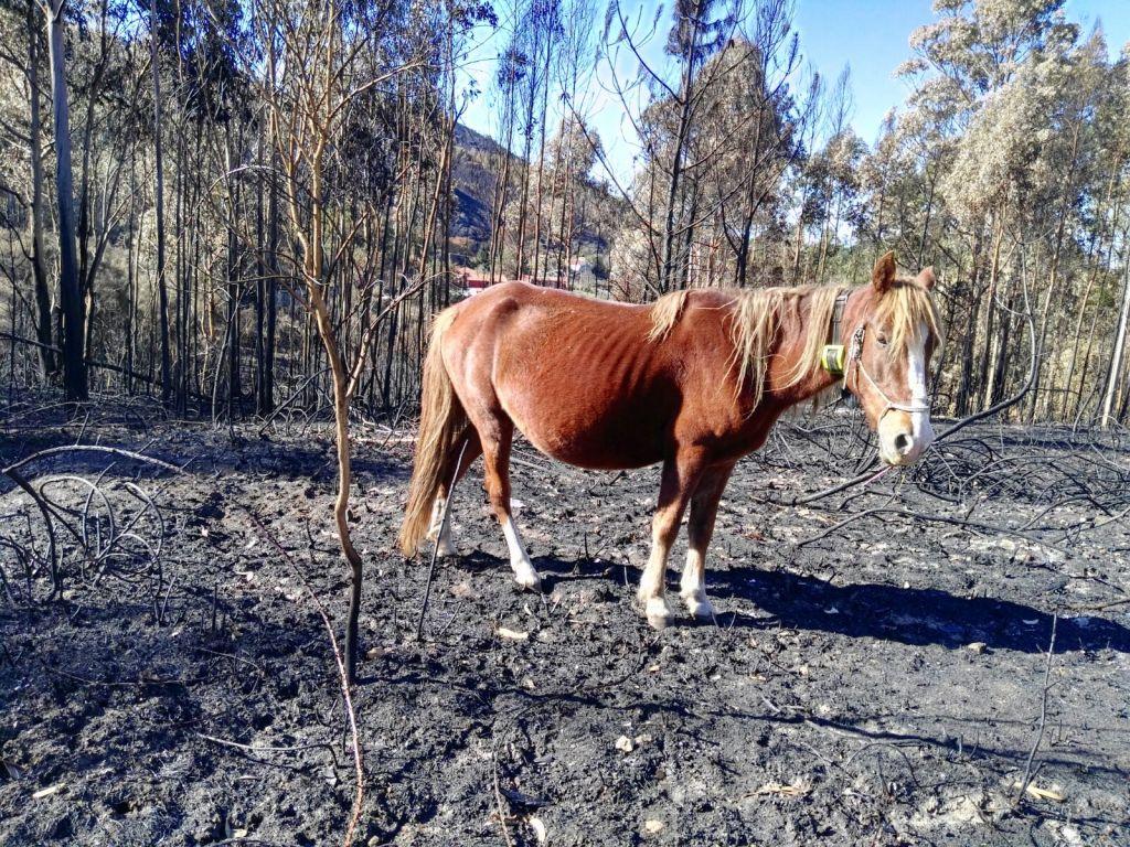 Vache qui va bien après le feu.