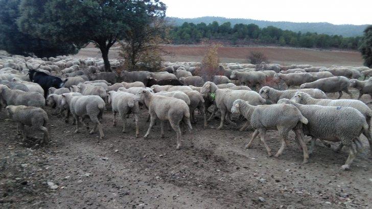Ovejas y cabras con dispositivos GPS en la trashumancia