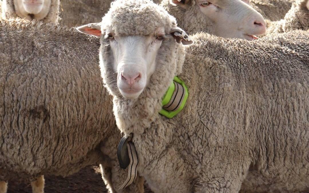 Reducir la mortalidad de ovejas Australianas con GPS