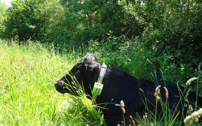 Medios británicos como la BBC o FarmingUK se hacen eco de la colaboración entre Cows in Clover y Digitanimal