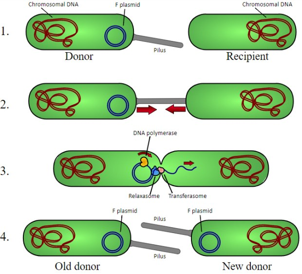 bacterial conjugation showing the dilemma of good and bad bacteria