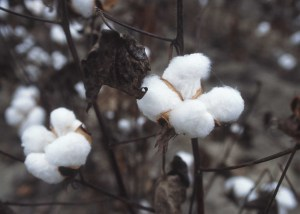 Two large bolls of white cotton on a brown plant, close up