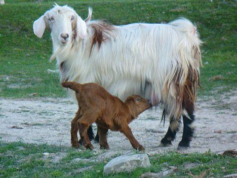 some turkish goats