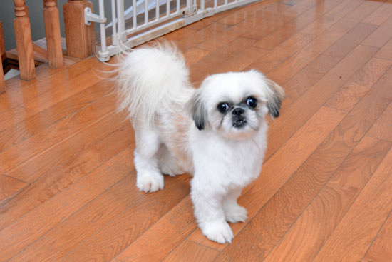 Picture of Digsy's blood father, a small white Shih Tzu with large black eyes traring at the camera. Hardwood floor and puppy gate in background.