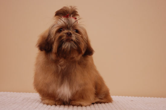 Digsy's blood mother, a chubby liver Shhih Tzu with thickliver colour coat. Fur on top of her head is tied like a show dog's.