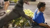 Hewan Ini Bantu Dorong Kursi Roda Anak Lak-laki Berkebutuhan Khusus