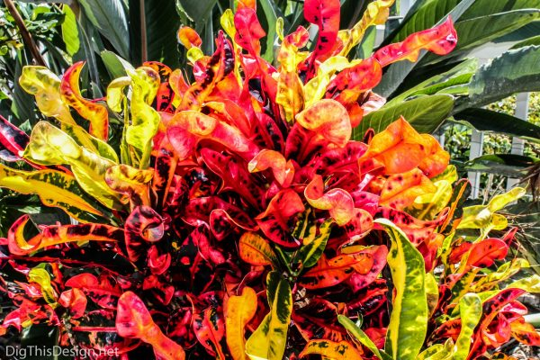 Crotons are a plant with vibrant shades of orange.