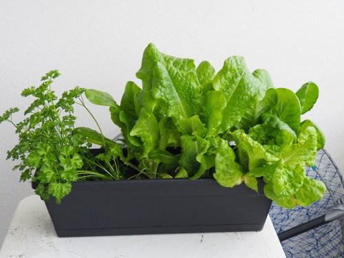 Growing Lettuce in a pot.