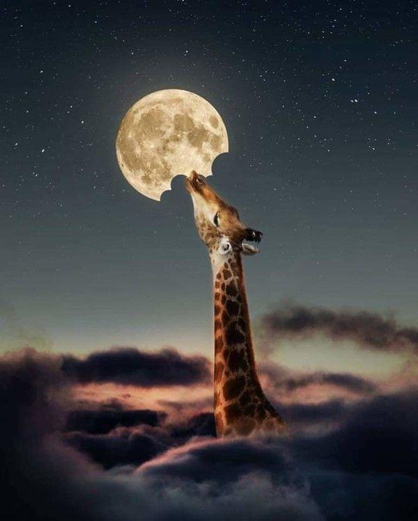 La Girafe Et La Lune : girafe, Girafe