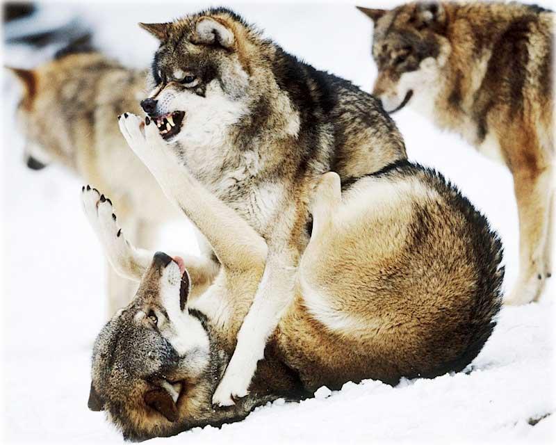 caracteristicile viziunii lupului