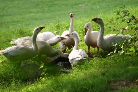 A bunch of swan in green
