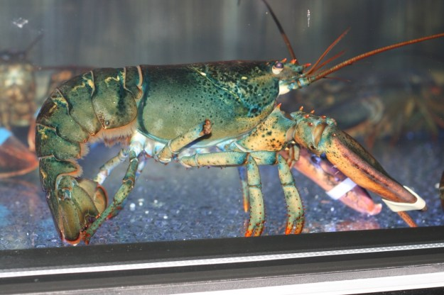 Lobster in tank